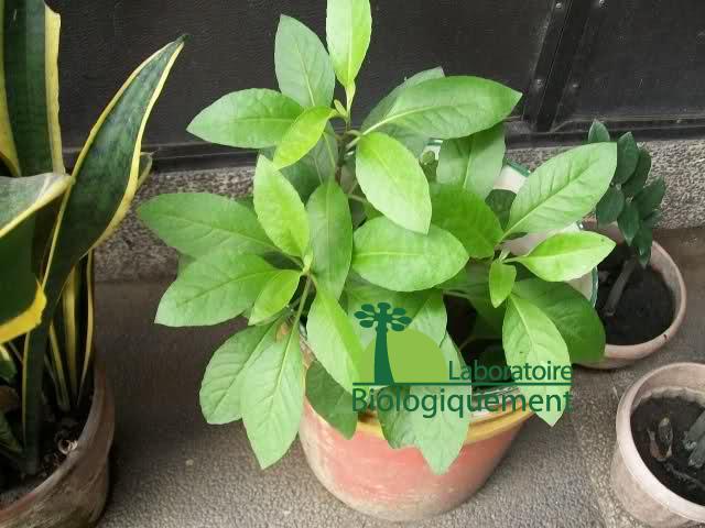 Jeunes plants d'Ashitaba bio (Angelica keiskei) en cours de croissance.