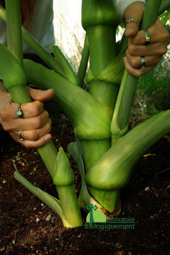 Très savoureux, l'Ashitaba bio possède un goût proche de celui du céleri, la plante peut être consommé cru ou cuit dans les salades, les soupes, les ragoûts ou encore sous forme séchée pour faire du thé et même sous forme de glace.